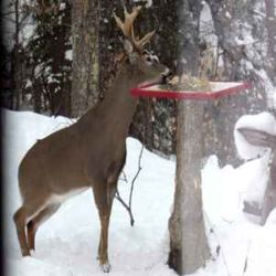 Buck stealing from bird feeder in Haliburton